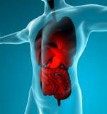 Sistema digestivo y respiratorio masculino Imagenes de archivo