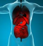 Sistema digestivo y respiratorio masculino Imagen de archivo