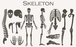 Sistema esquelético de la colección de la silueta de los huesos humanos Alto ejemplo detallado del vector Imagen de archivo