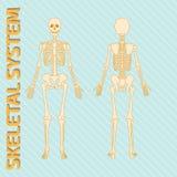 Sistema esqueletal Foto de Stock Royalty Free