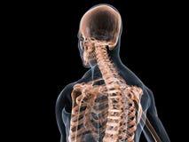 Sistema esqueletal ilustração stock