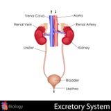 Sistema Excretory ilustração royalty free