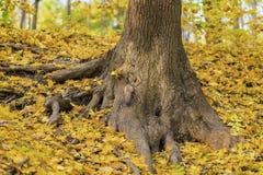 Sistema fuerte de la raíz de árbol viejo Hojas caidas otoño del amarillo en la tierra Ardilla mullida, dedicada a la acción para Fotografía de archivo libre de regalías