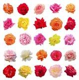 Sistema grande de rosas Imagenes de archivo