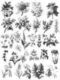 Sistema herbario del clip art del vintage libre illustration