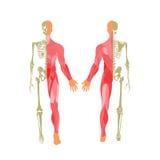 Sistema huesudo y muscular humano Visión delantera y trasera Tablero de la anatomía Fotos de archivo libres de regalías