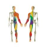 Sistema huesudo y muscular humano Visión delantera y trasera Tablero de la anatomía Foto de archivo
