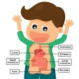 Sistema humano de la digestión Imágenes de archivo libres de regalías