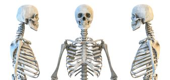 Sistema humano del esqueleto ilustración 3D libre illustration