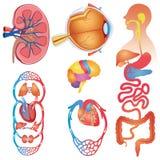 Sistema humano del vector de las partes del cuerpo libre illustration