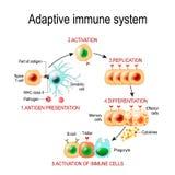 Sistema imunitário adaptável da apresentação de antígeno à ativação o ilustração stock