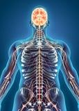 Sistema interno humano - sistema nervioso Imágenes de archivo libres de regalías