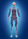 Sistema interno humano - sistema nervioso Imagenes de archivo