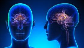 Sistema límbico fêmea Brain Anatomy - conceito azul ilustração royalty free