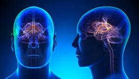 Sistema límbico masculino Brain Anatomy - concepto azul Imagenes de archivo