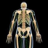 Sistema linfático con el lado trasero del esqueleto Imágenes de archivo libres de regalías