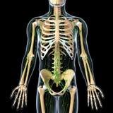 Sistema linfático con la vista delantera del esqueleto Foto de archivo