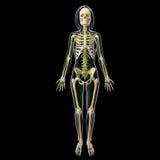 Sistema linfático de cuerpo completo femenino Imagenes de archivo
