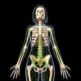 Sistema linfático de esqueleto del cuerpo femenino Imágenes de archivo libres de regalías
