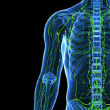 Sistema linfático de medio cuerpo Fotos de archivo