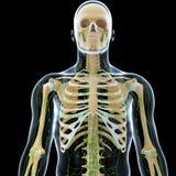 Sistema linfático de varón con el corazón Imágenes de archivo libres de regalías