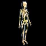 Sistema linfático de vista lateral del cuerpo completo femenino Fotos de archivo