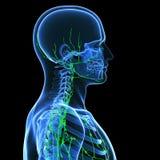 Sistema linfático masculino Imagenes de archivo