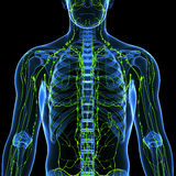 Sistema linfático masculino con el corazón Foto de archivo libre de regalías