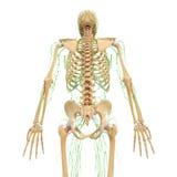 Sistema linfatico di punto di vista posteriore del maschio con lo scheletro illustrazione di stock