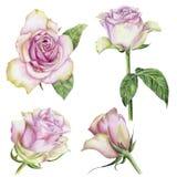 Sistema a mano de rosas Imágenes de archivo libres de regalías