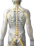Sistema maschio del nervo royalty illustrazione gratis