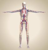 Sistema (masculino) humano de la circulación y sistema nervioso Fotografía de archivo