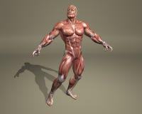 sistema muscolare 3d illustrazione vettoriale