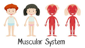 Sistema muscolare del ragazzo e della ragazza illustrazione di stock