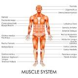 Sistema muscular Fotografia de Stock