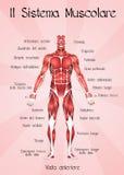 Sistema muscular Foto de archivo libre de regalías