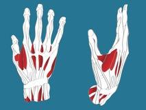 Sistema muscular de la mano Imagen de archivo