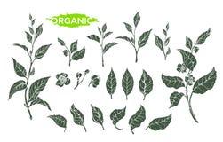 Sistema natural del vector de la rama del té verde