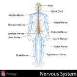 Sistema nervioso Imágenes de archivo libres de regalías