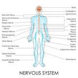Sistema nervioso Imagen de archivo libre de regalías