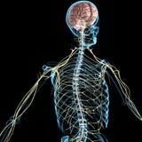 Sistema nervioso Fotografía de archivo libre de regalías