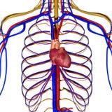 Sistema nervioso con el corazón Fotos de archivo