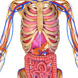 Sistema nervioso con los órganos Fotografía de archivo libre de regalías