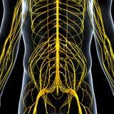 sistema nervioso de lado trasero masculino Fotografía de archivo libre de regalías