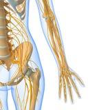 Sistema nervioso de cuerpo femenino Foto de archivo
