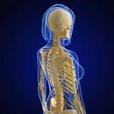Sistema nervioso de cuerpo femenino en azul Fotos de archivo