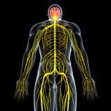 sistema nervioso de varón con el cuerpo trasero completo Imagen de archivo libre de regalías