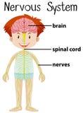 Sistema nervioso en cuerpo humano Imagen de archivo libre de regalías
