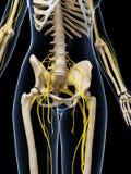 Sistema nervioso femenino Imágenes de archivo libres de regalías