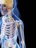 Sistema nervioso femenino Foto de archivo libre de regalías